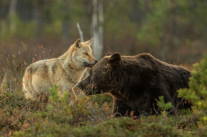bear and wolf friendship